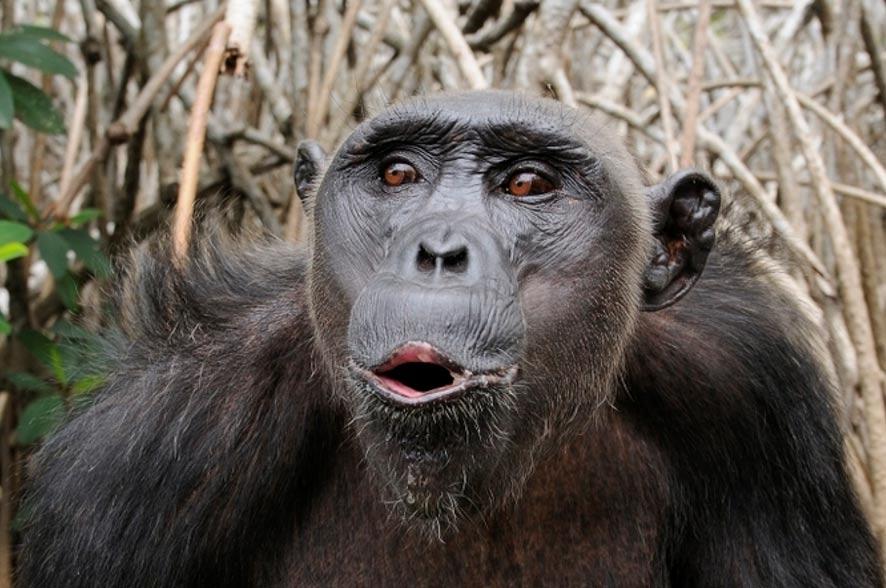 Muchos primates vocalizan; pero solo el ser humano utiliza un lenguaje en toda la extensión de la palabra. dsg-photo.com, CC BY-SA