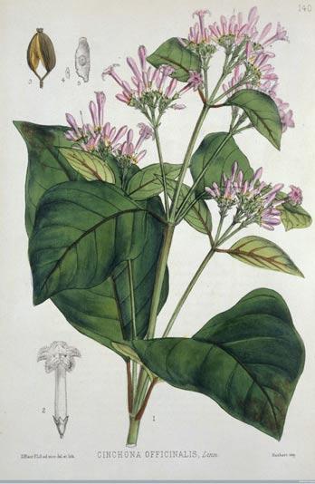 Un grabado de una planta de quinina, 1880. Wellcome Library, Londres, CC BY