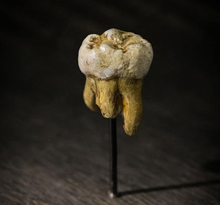 Réplica de uno de los molares Denisovanos hallados en la Cueva de Denisova. Museo de Ciencias Naturales de Bruselas, Bélgica. (Public Domain)