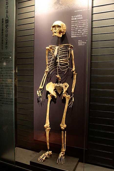 Réplica del esqueleto del hombre de Minatogawa con vínculos de ADN con la población japonesa moderna. (Museo Nacional de Naturaleza y Ciencia, Tokio)
