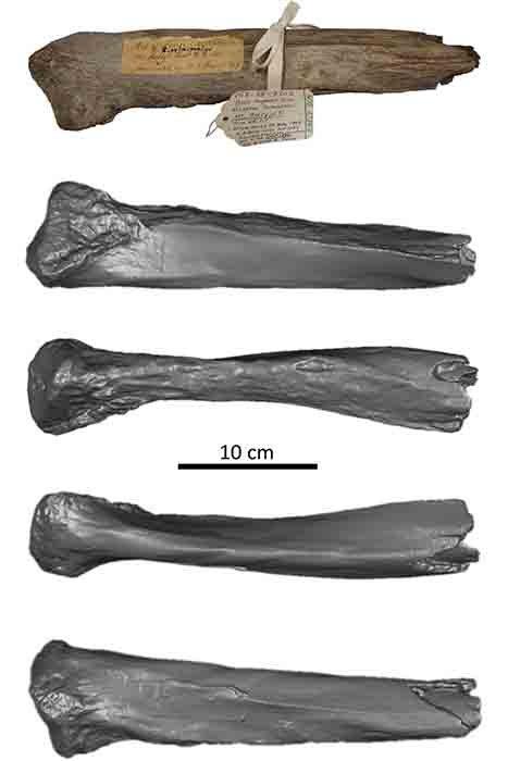 El hueso de la costilla de mamut lanudo olvidado durante mucho tiempo se encontró originalmente cerca de Mount Holly en Nueva Inglaterra. (Nathaniel R. Kitchel y Jeremy DeSilva)
