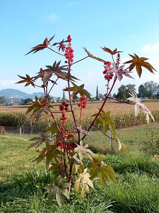 Ricinus communis. (CC BY SA 3.0)