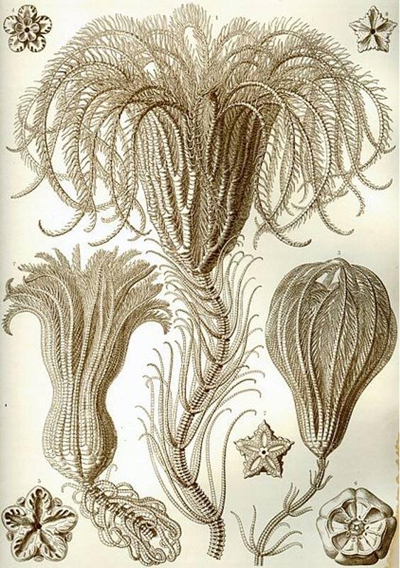 Un crinoideo acechado dibujado por Ernst Haeckel. (Wikipedia)
