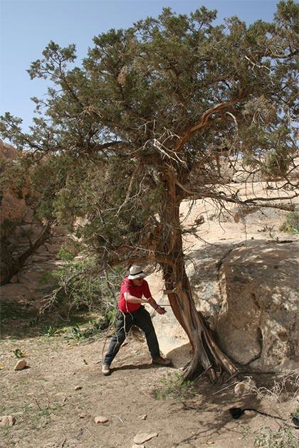 Sturt Manning muestra un árbol Juniperus phoenicea de varios siglos de antigüedad cerca de Petra, en el sur de Jordania. (Universidad de Cornell)
