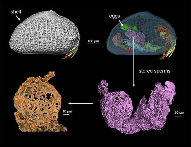 Una reconstrucción 3D del ostrácodo femenino. (He Wang / Academia China de Ciencias)