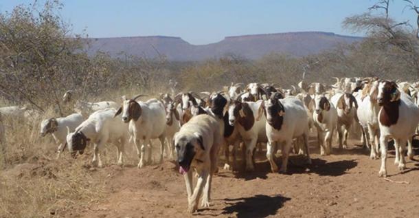 Perro de pastor Kangal y rebaño de cabras en Namibia. (CC BY-SA 3.0)
