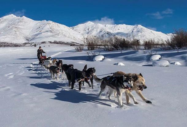 Perros de trineo, Parque Nacional y Reserva Denali. Jacob W. Frank (dominio público)