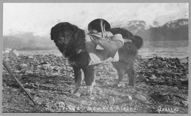 Príncipe, un perro de Alaska, cargando utensilios en su espalda. (Dominio publico)