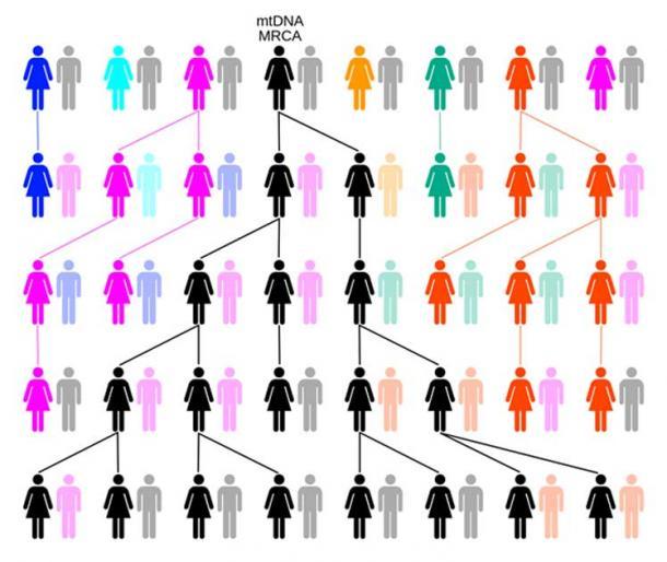 A través de la deriva o selección aleatoria, el linaje femenino se remontará a una sola hembra, como la Eva mitocondrial. En este ejemplo, más de cinco generaciones de colores representan líneas matrilineales extintas y en negro la línea matrilineal descendió de MRCA de mtDNA. (ChrisTi / CC BY-SA 3.0)