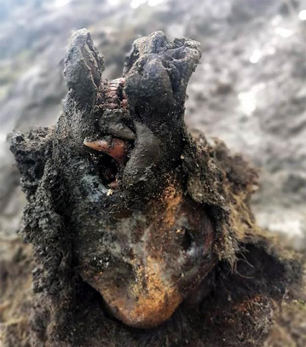 La asombrosa cabeza del oso adulto de la Edad de Hielo tal como fue encontrada. (Universidad Federal del Nordeste de Yakutsk (NEFU))