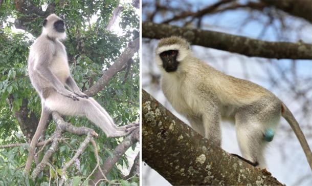 A la izquierda, macho alfa Gray Langur en el Parque Nacional Mudumalai. (Marcus334 / CC BY-SA 3.0) Derecha, Vervet Monkey. (Carolyn/ Adobe Stock)