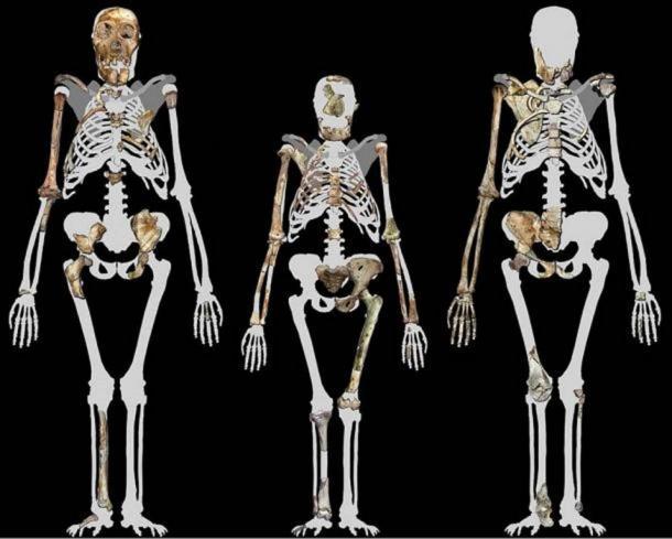 Se cree que Australopithecus sediba, dos fósiles de los cuales se muestran a la izquierda y a la derecha, ha sido una especie de transición entre los Australopithecus más viejos, como Lucy en el medio, y más tarde las especies Homo. Imagen compilada por Peter Schmid cortesía de Lee R. Berger. (CC BY-SA 3.0 )