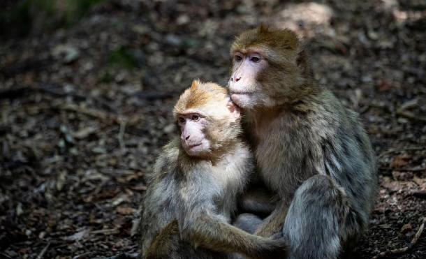 El mono de Berbería habría sido importado desde una gran distancia. (CC0)