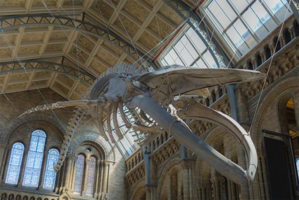 Esqueleto de ballena azul que cuelga del techo del Museo de Historia Natural de Londres, que se puede ver en el recorrido virtual del museo en línea. (GioRez/ Adobe)