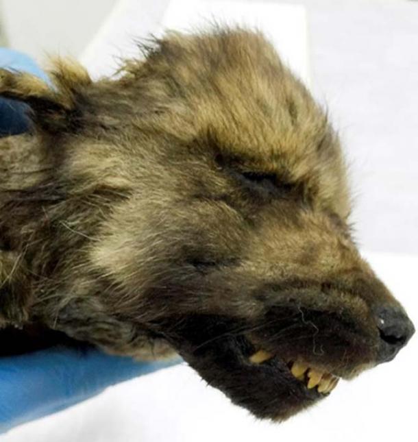 Cachorro increíblemente preservado con sus bigotes, pestañas, cabello y nariz aterciopelada intactos rompecabezas científicos. (Sergey Fedorov)