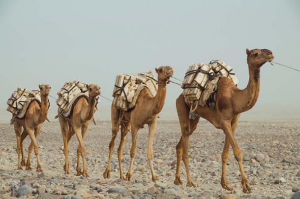 Caravana de camellos con bloques de sal, rumbo a la ruta del comercio de sal. Fuente: Marisha_SL / Adobe.