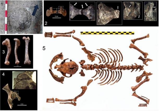 Los restos óseos caninos son la evidencia más antigua de una pequeña raza de perro de juguete del período romano. (Martínez Sánchez / Universidad de Granada)