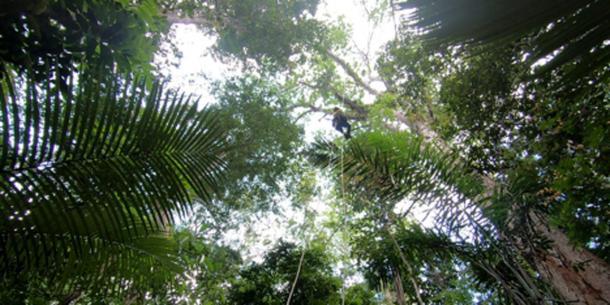 Escalando un árbol amazónico. (Inverse)