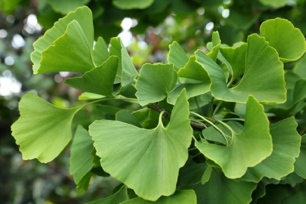 Ciérrese para arriba de las hojas del árbol de ginkgo. (Profotokris/ Adobe)