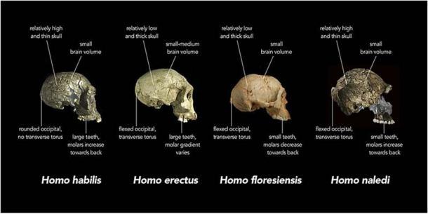 Comparación de las características del cráneo del Homo naledi y otras especies humanas primitivas. (Animalparty / CC BY-SA 4.0)