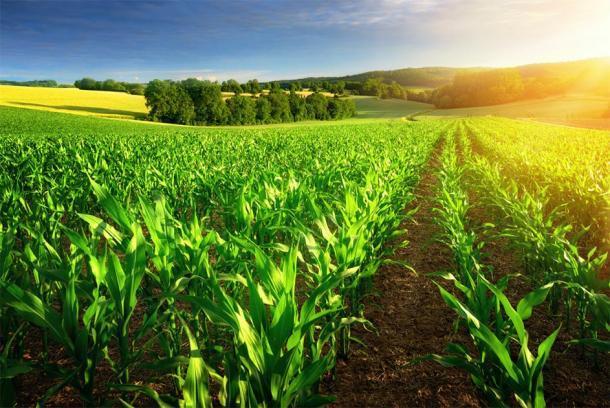 Granja de maíz en la luz del sol. (Stock de Smileus/ Adobe)
