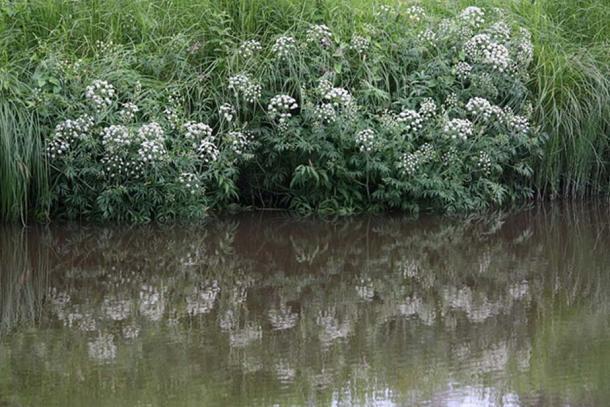 Cowbane o cicuta de agua del norte (Cicuta virosa) está creciendo junto al río Keravanjoki en Kerava, Finlandia. (Anneli Salo / CC BY SA 3.0)
