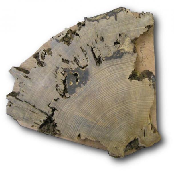 Corte transversal de una muestra tomada del árbol de la plaza Pueblo Bonito. (Christopher Guiterman / Universidad de Arizona)