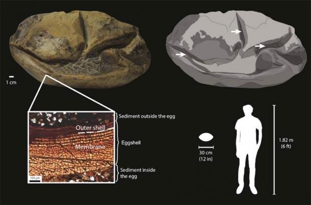 Diagrama del huevo fósil de la Antártida y sus componentes. Hay una sección transversal abajo a la izquierda. Su tamaño relativo a un humano adulto se muestra abajo a la derecha. (Legendre et al. 2020 / Universidad de Texas)