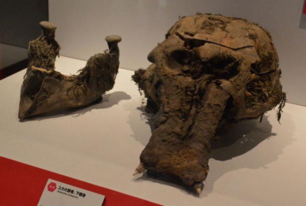 El cráneo y la mandíbula inferior de Yuka como se muestra en la Exhibición de Yuka de Frozon Mammoth Woolly Mammoth en Yokohama, Kanagawa, Japón. CC BY-SA 3.0)