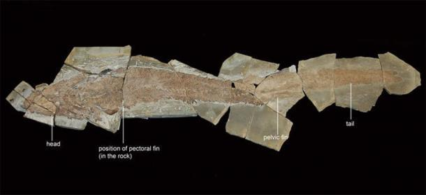 Nuestro nuevo espécimen de Elpistostege watsoni mide 1,57 metros de largo desde su hocico hasta la punta de su cola. Richard Cloutier, UQAR