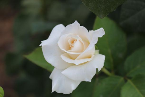 En la noche de su boda, la pareja dio un paseo por las murallas del fuerte y vio una sola rosa blanca que crecía debajo. (Pixabay License)