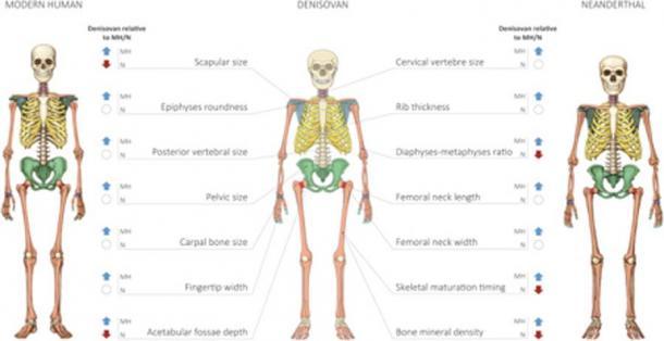 Perfil reconstruido del esqueleto de Denisovan. (Gokhman et al.)
