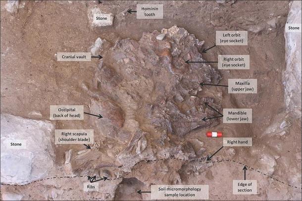 Cráneo de neandertal excavado. (G. Barker / Antiquity Publications Ltd)
