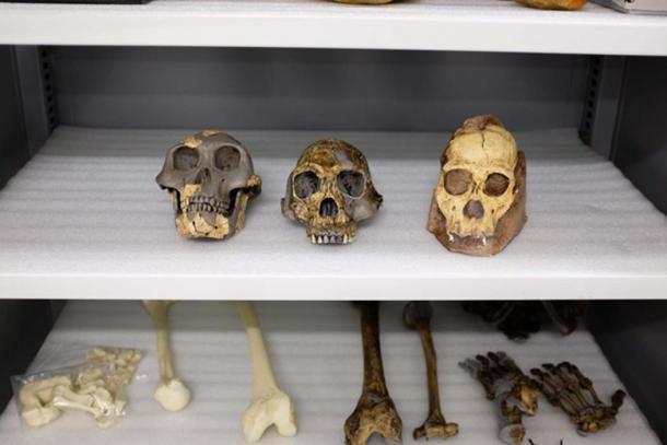 Moldes fósiles de Australopithecus afarensis (izquierda), Homo habilis (centro) y Australopithecus sediba (derecha). (Matt Wood, UChicago)
