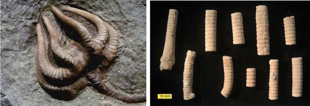 Izquierda: Los restos fosilizados de un crinoideo completo (Wikipedia). Derecha: segmentos fosilizados de crinoideos (Wikipedia)