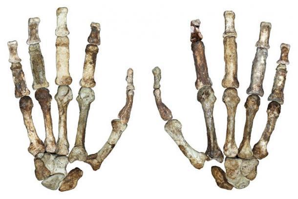 Los huesos fosilizados de la mano de Australopithecus sediba. (Imagen: © Dunmore et al. Universidad de Kent)