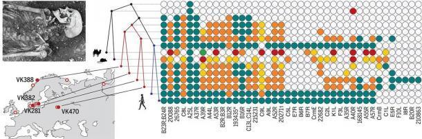 El proyecto de secuenciación genética se centró en cepas antiguas del virus de la viruela extraídas de los dientes de los esqueletos vikingos desenterrados en el norte de Europa para mostrar la evolución del genoma de la viruela de la era vikinga. (Múhlemann et al. / Ciencia)