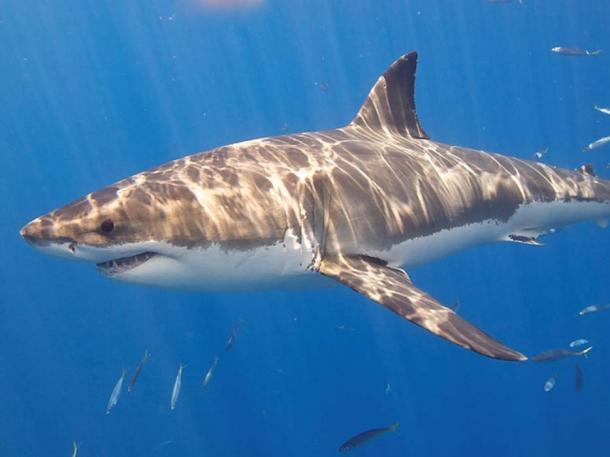 Gran tiburón blanco. (Elias Levy / CC BY 2.0)