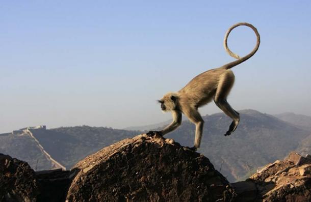 Real gris langur mono jugando, mostrando similitud con la obra de arte. (donyanedomam/ Adobe Stock)