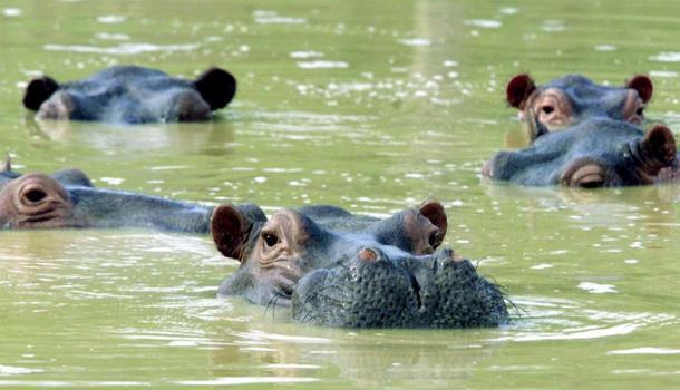 Una manada de hipopótamos en Colombia nadando en un lago fangoso en la casa de campo abandonada del ex narcotraficante Pablo Escobar en Puerto Triunfo.