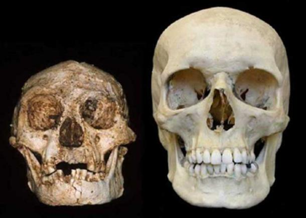 """Homo floresiensis cráneo (el """"Hobbit"""") (izquierda) y un cráneo humano moderno (derecha). Crédito: Profesor Peter Brown, Universidad de Nueva Inglaterra."""