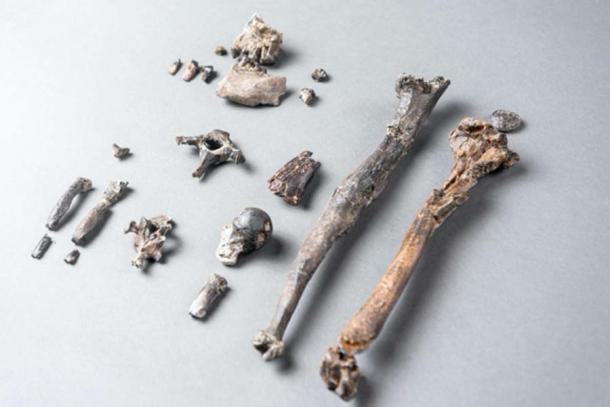 Los 21 huesos del esqueleto parcial más completo de un Danuvius masculino. (Christoph Jäckle / Nature)