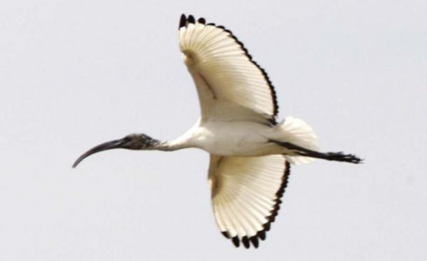 Ibis sagrado - en vuelo. (Lip Kee / CC BY-SA 2.0)