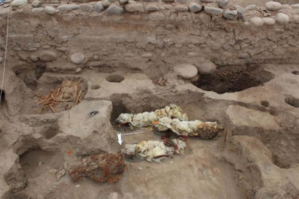 Llamas de sacrificio momificadas encontradas en Tambo Viejo, Perú. (LM Valdez / Antiquity Publications Ltd)