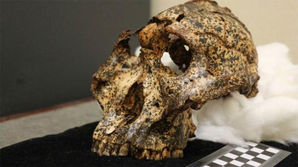 Paranthropus robustus tenía dientes relativamente grandes y un cerebro pequeño. (Universidad de Washington en St. Louis)
