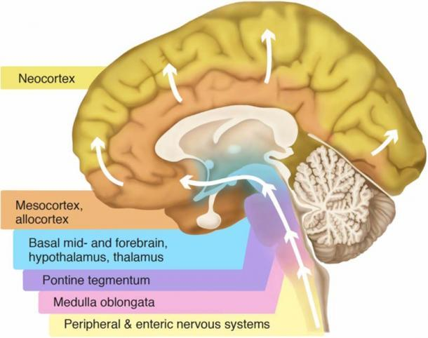 Partes del cerebro. (Visanji, Naomi P., Patricia L. Brooks, Lili-Naz Hazrati y Anthony E. Lang / CC BY 2.5)
