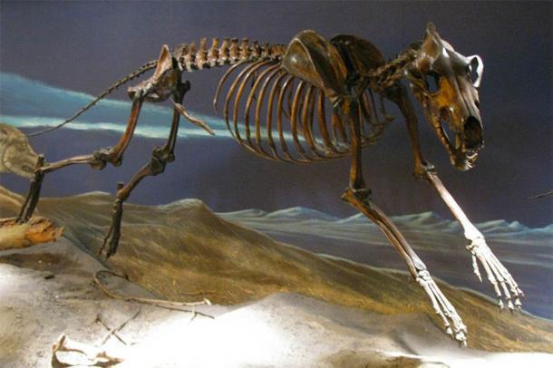 Esqueleto de lobo temible de La Brea Tar Pits montado en pose de carrera. (Eden, Janine y Jim / CC BY 2.0) Los lobos temibles se encontraban entre los carnívoros más comunes en las Américas en el período del Pleistoceno tardío.