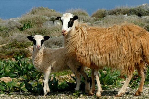 El pastoreo de ovejas sigue siendo común hoy en día en la isla de Creta, pero fue una importante industria minoica durante el tiempo en que el complejo del palacio de Zominthos estuvo en funcionamiento (Kaelkael / CC BY-SA 3.0).