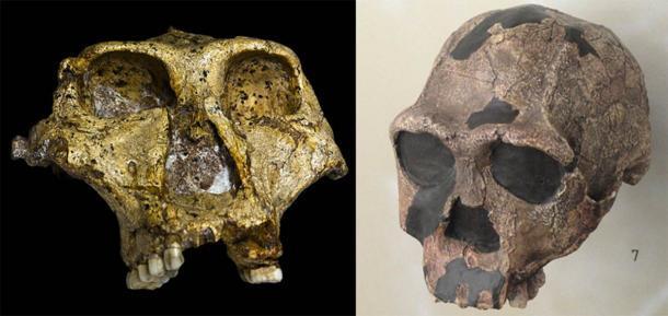 Comparación de un cráneo de Paranthropus robustus (izquierda) (José Braga; Didier Descouens / CC BY SA 4.0 ) con un cráneo de Homo erectus (derecha). (CC0)