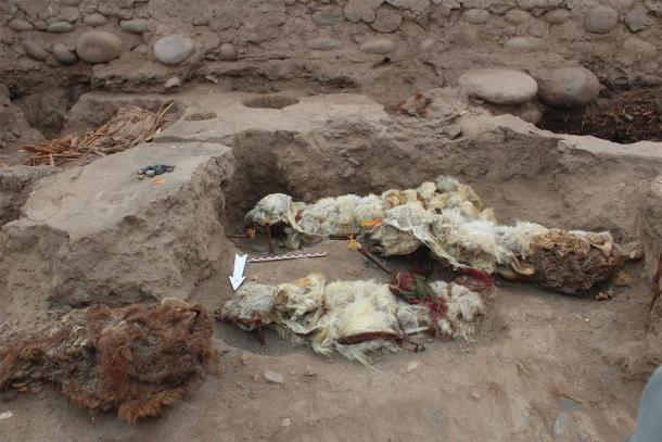 Los sacrificios de llamas momificadas encontrados en Tambo Viejo, Perú. Fuente: LM Valdez / Antiquity Publications Ltd